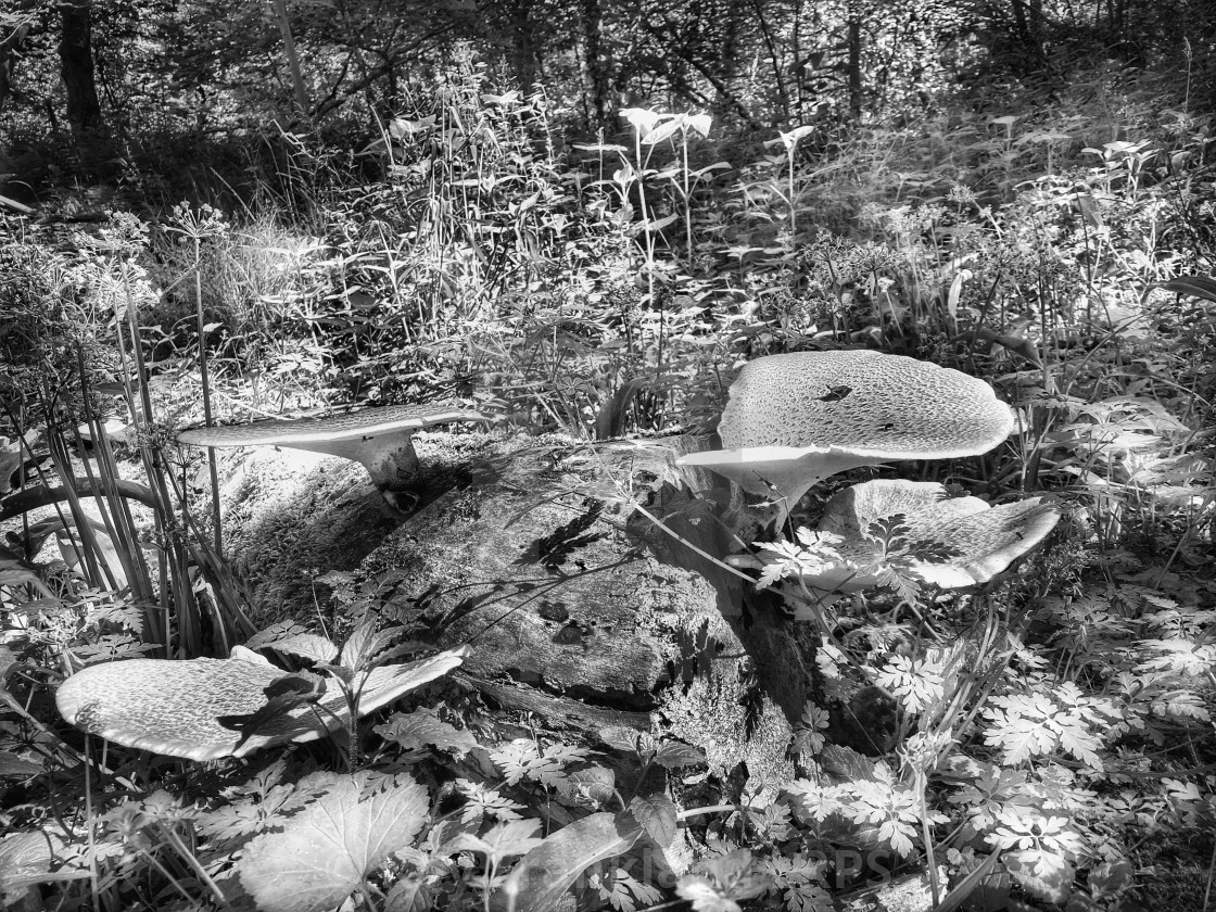 """""""Dryad's Saddle mushrooms, mono"""" stock image"""