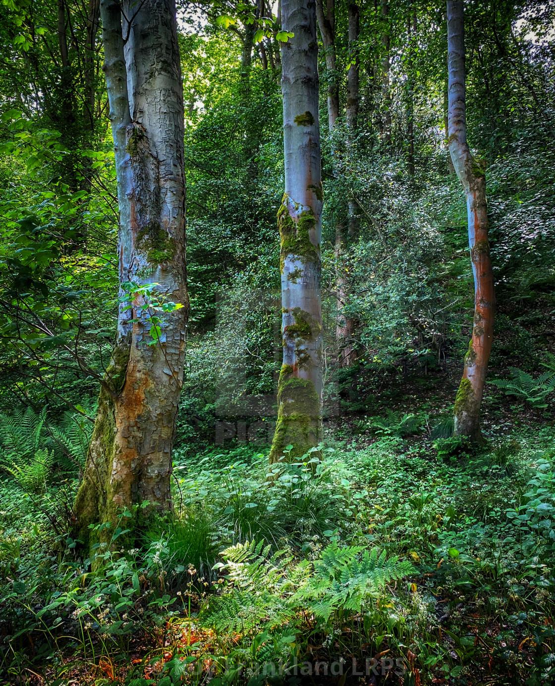 """Three trees in woodland"" stock image"
