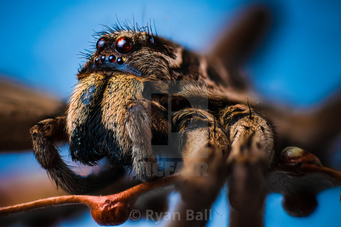 """Macro - Wolf Spider"" stock image"