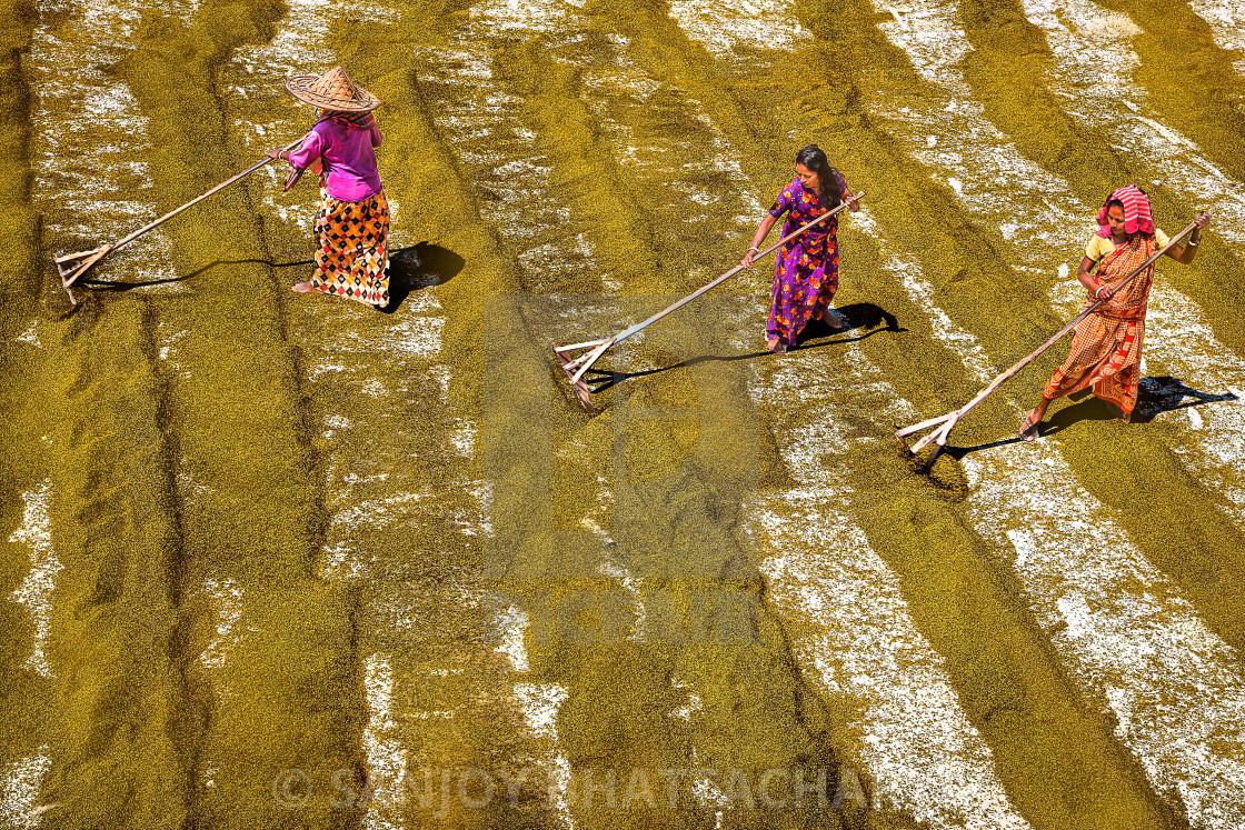 """""""PADDY GRAIN DRYING IN INDIA"""" stock image"""