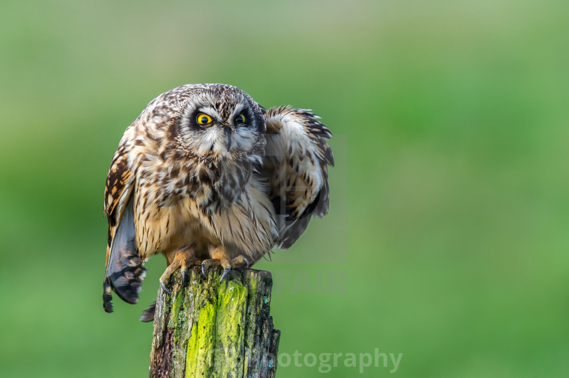 """Short-eared owl"" stock image"