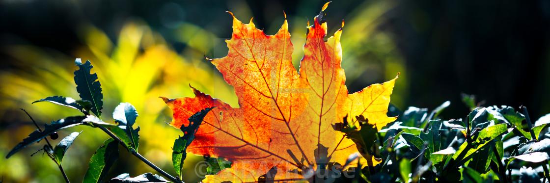 """Web banner crop. Red-orange leaf in sunlight on bokeh background. Beautiful..."" stock image"