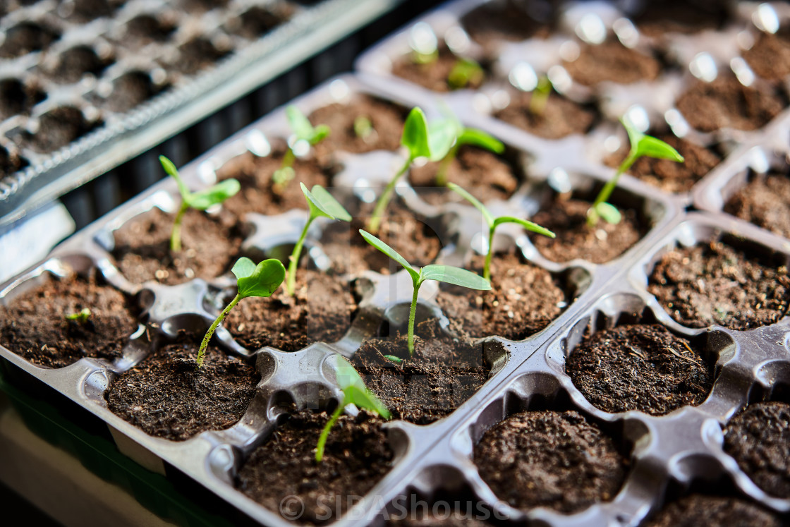 """Cucumbers, pumpkin, watermelon seedling growing in cultivation tray."" stock image"
