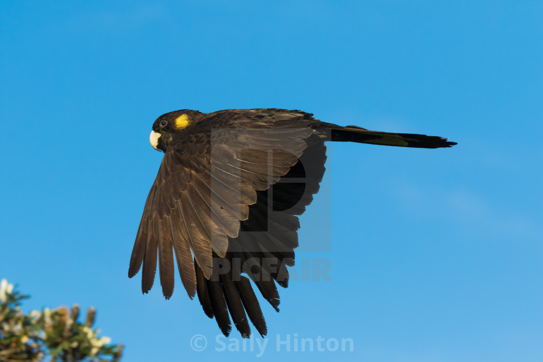 """""""Yellow-tailed Black Cockatoo in full flight"""" stock image"""