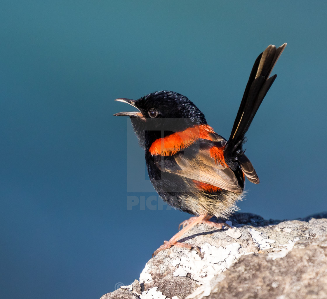 """""""Red-backed fairy wren male singing"""" stock image"""