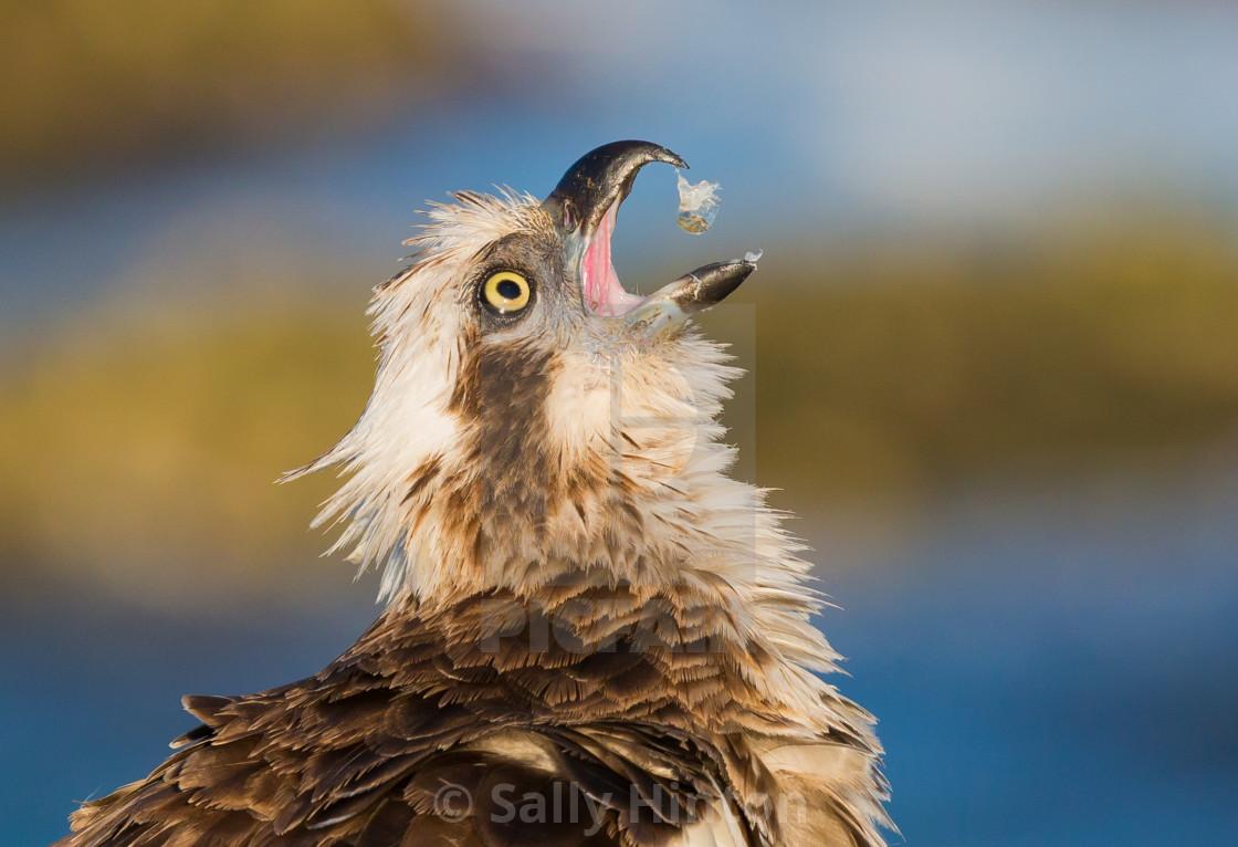 """Osprey - My Fish"" stock image"
