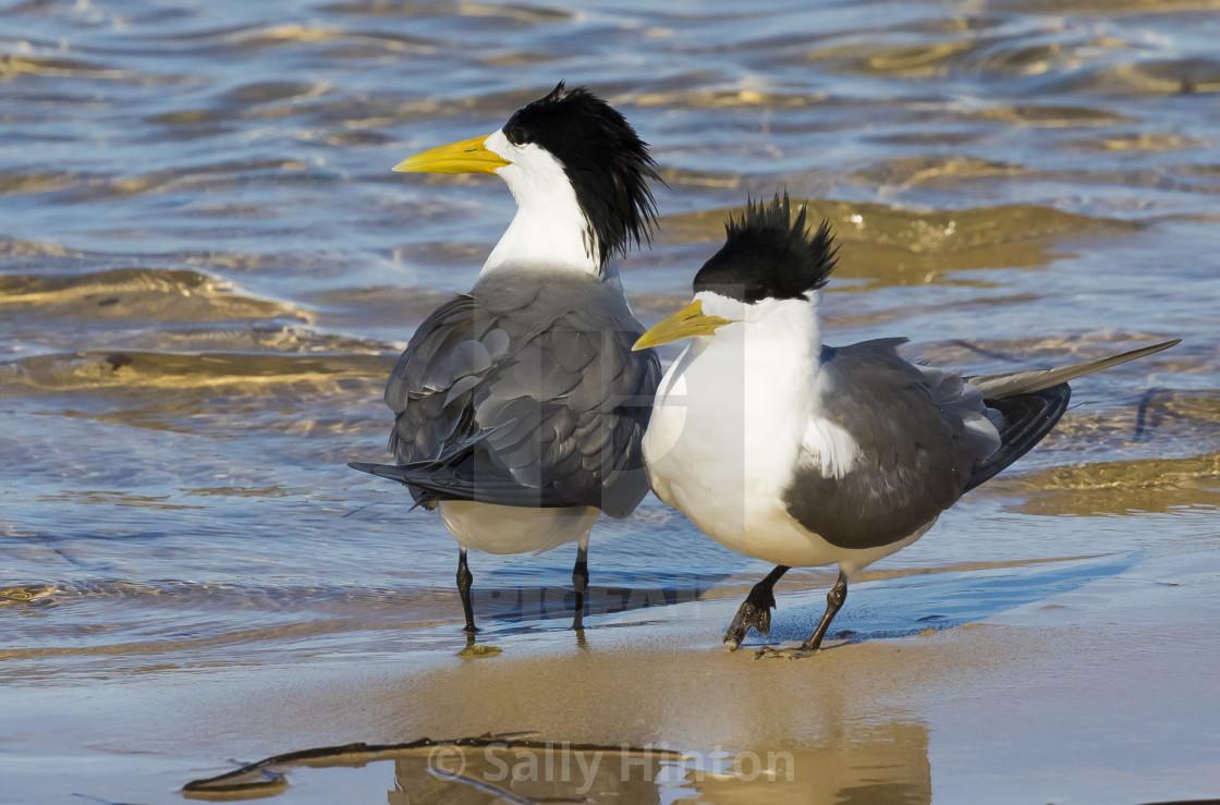"""Crested Terns mature breeding pair"" stock image"