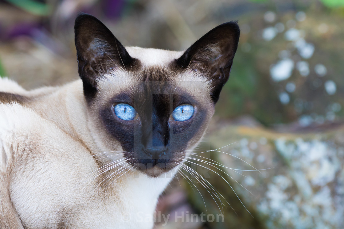 """""""Seal-Point Tonkinese cat"""" stock image"""