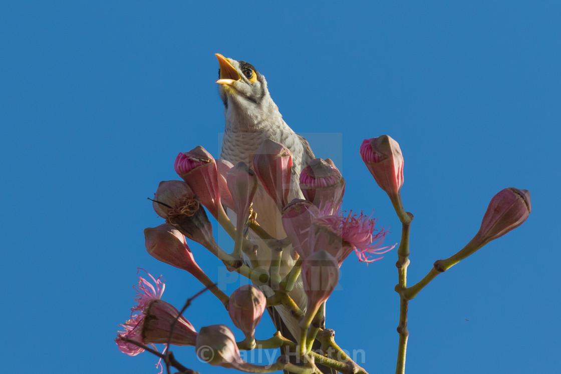 """Noisy Minor on gum tree"" stock image"