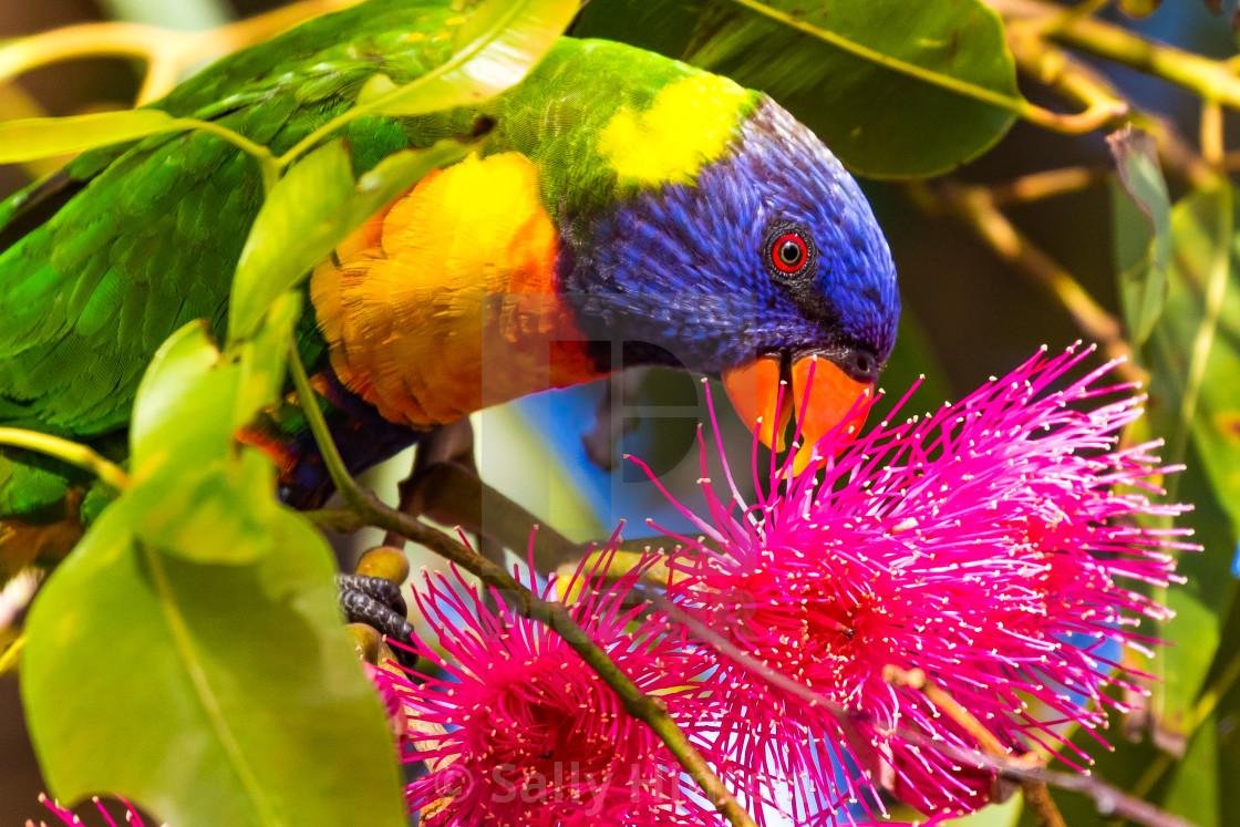 """""""Rainbow Lorikeet feeding"""" stock image"""