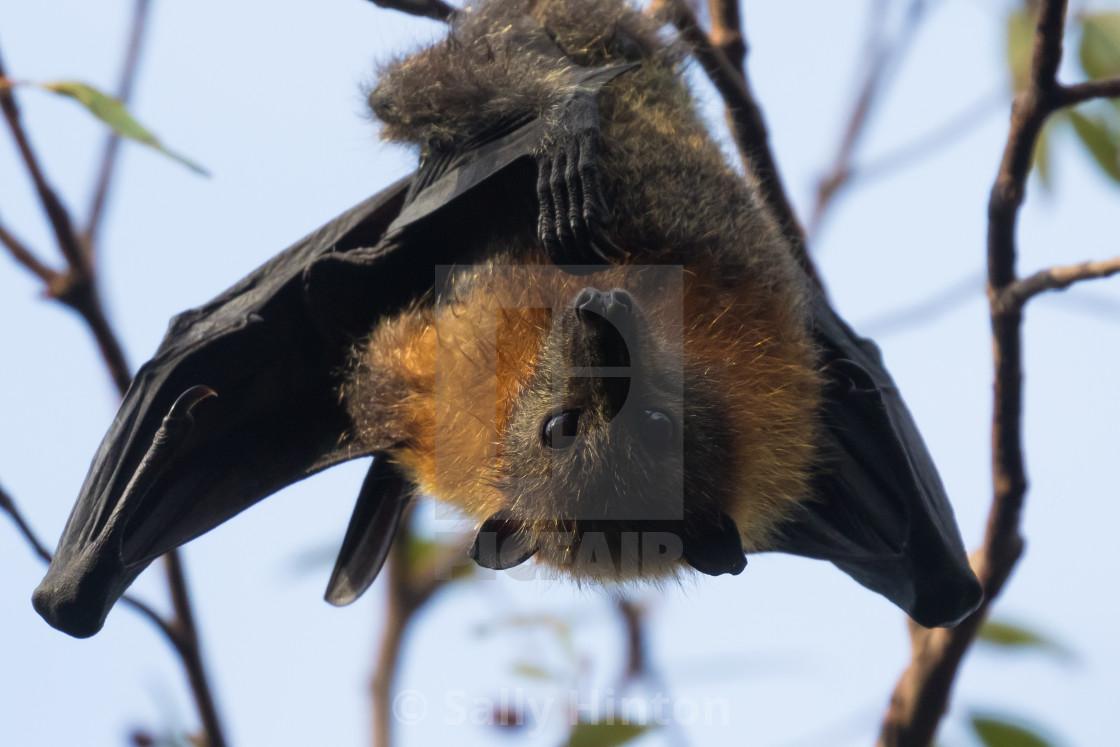 """Bat roosting"" stock image"