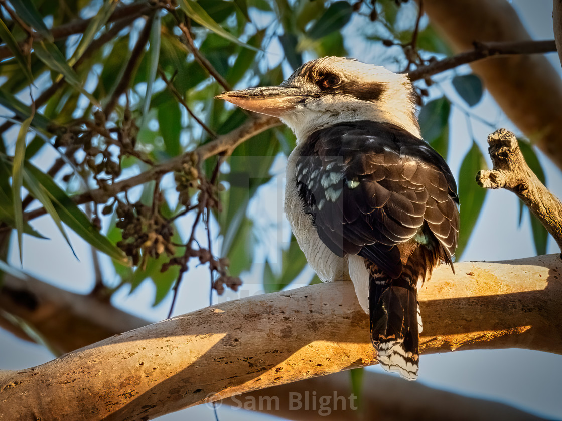 """Kookaburra in a Gum Tree"" stock image"