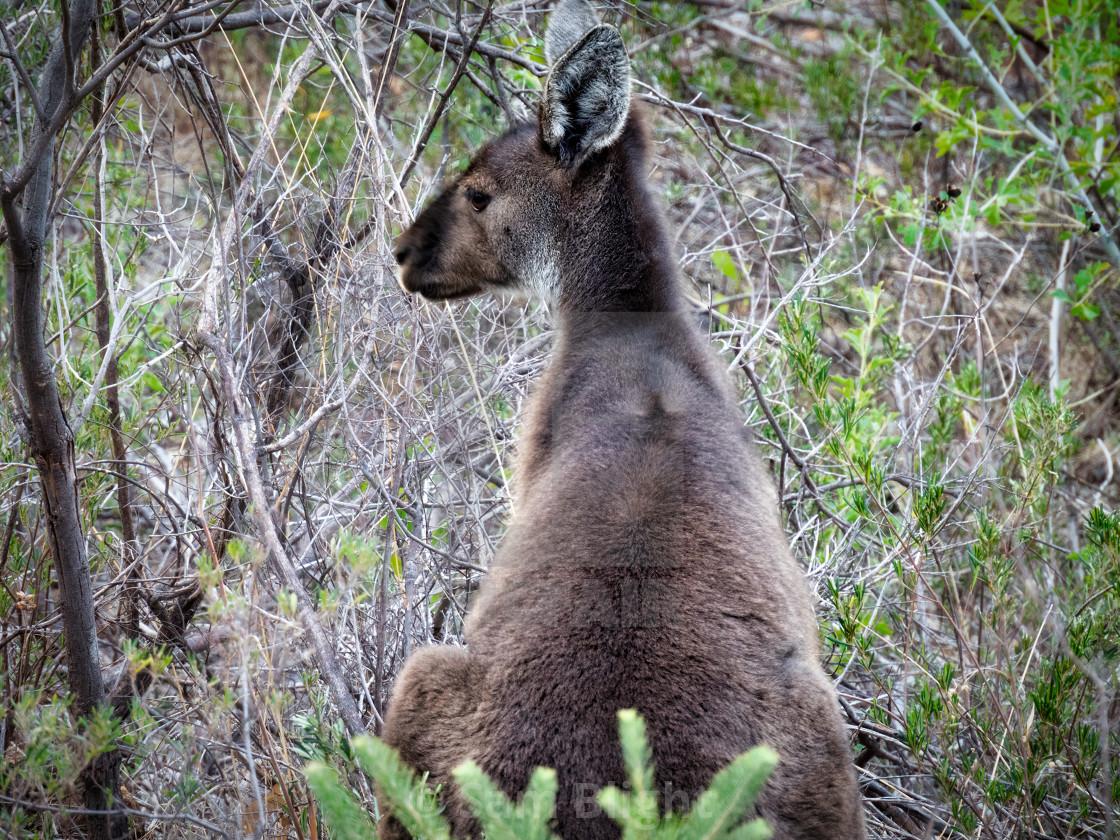 """""""Young Kangaroo in Bushland"""" stock image"""