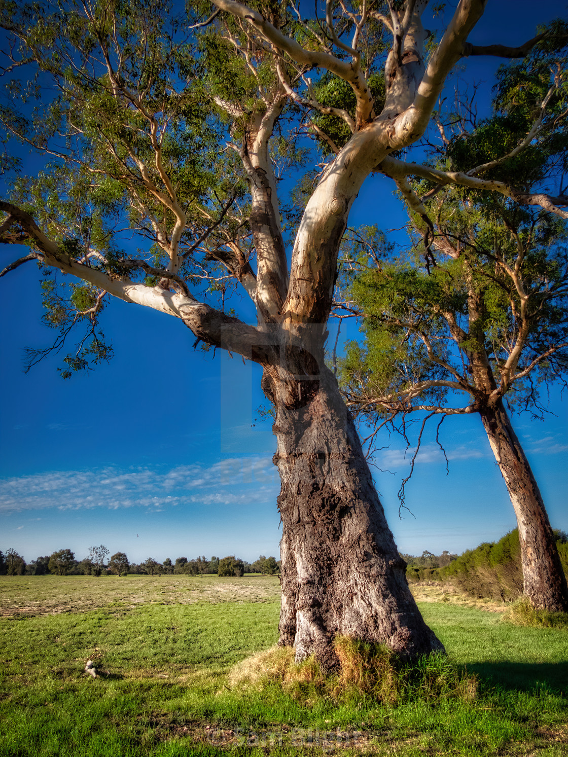 """""""Old Gum Trees"""" stock image"""