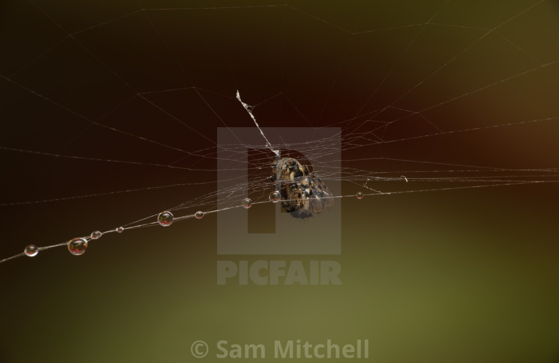 """Spider on dewey web"" stock image"