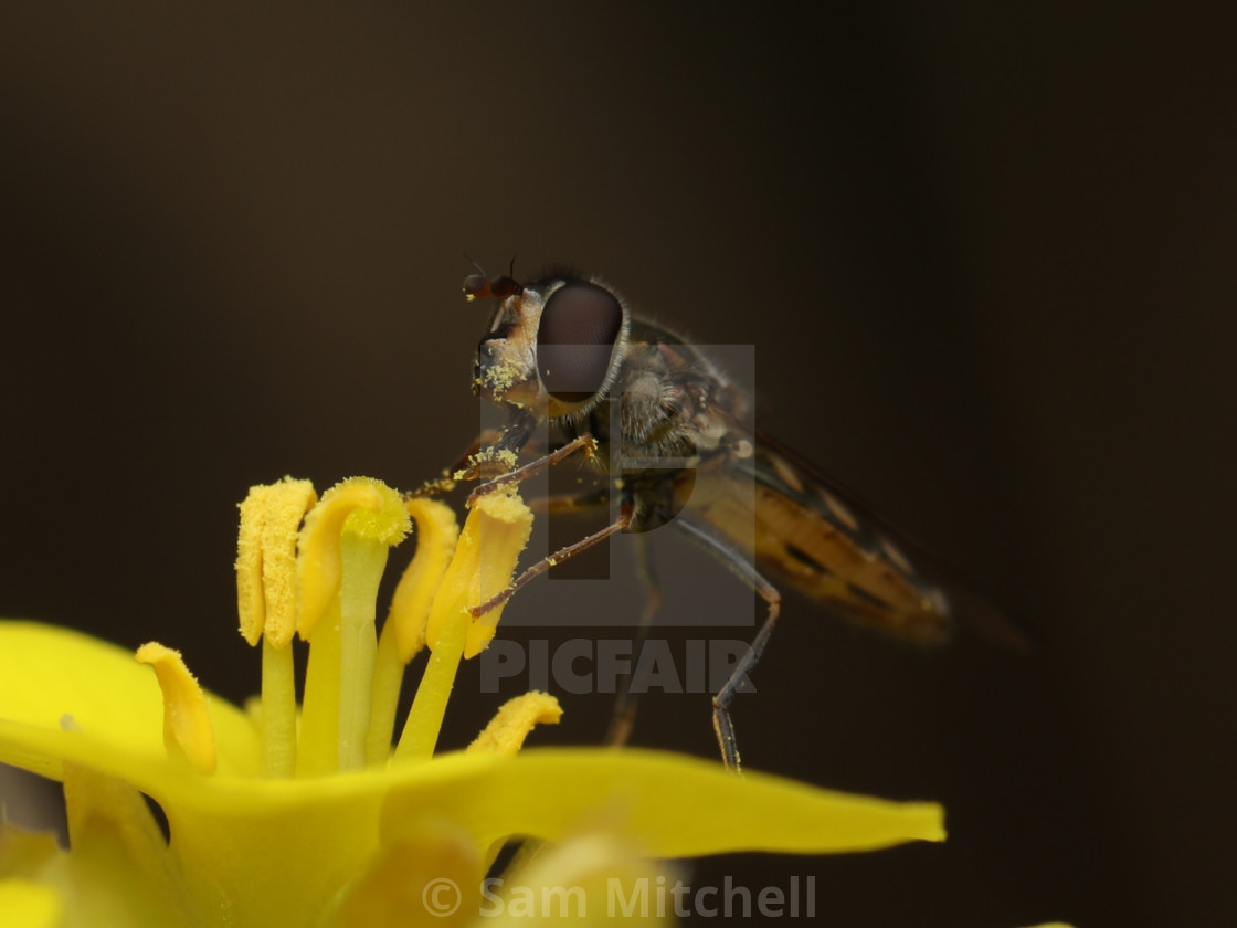 """""""Hoverfly on pretty yellow flower"""" stock image"""