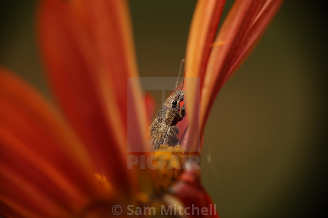 """Weevil nestled in orange flower"" stock image"