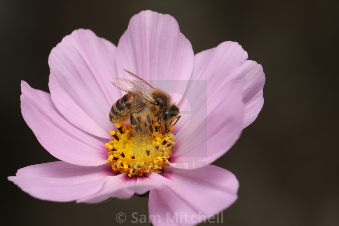 """""""Bee rested on pink flower"""" stock image"""