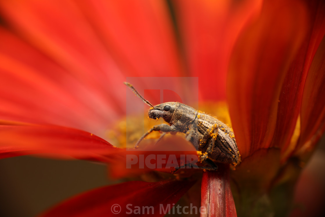 """""""Weevil resting on a red flower"""" stock image"""