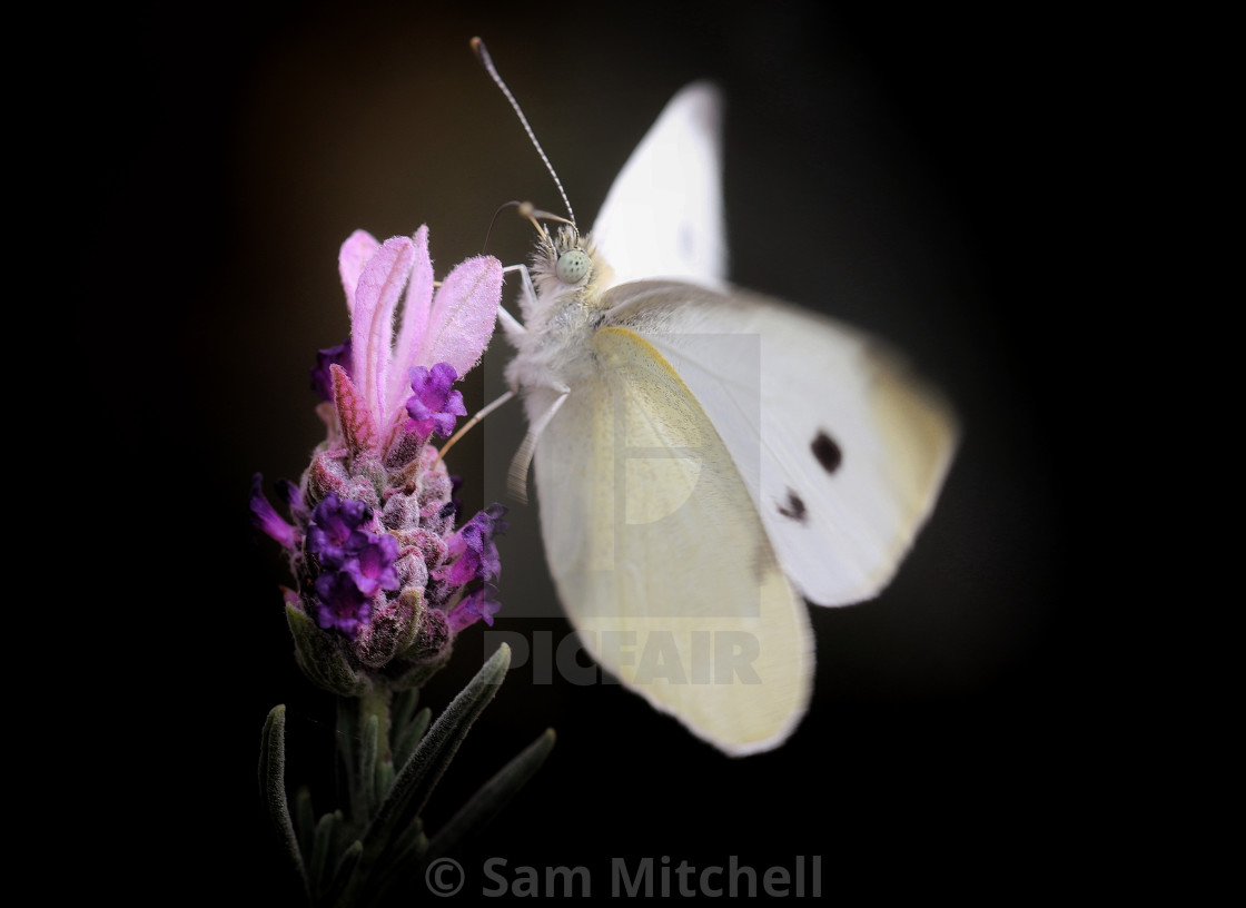 """""""Lavender with beautiful cabbage moth"""" stock image"""