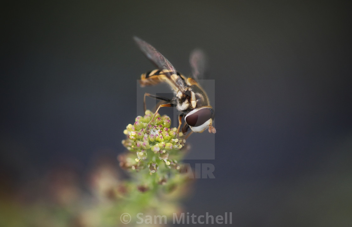 """""""Hoverfly Resting"""" stock image"""
