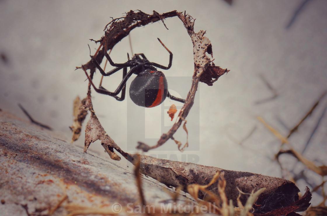 """""""Redback Spider (unique snap)"""" stock image"""