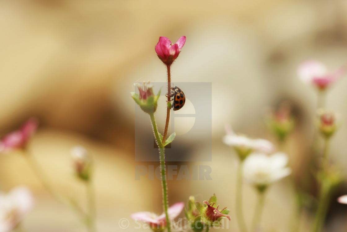 """Beautiful lady bird climbing tiny flower"" stock image"
