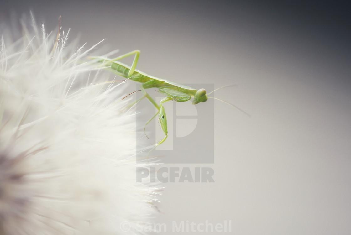 """Mantis on a beautiful dandelion"" stock image"
