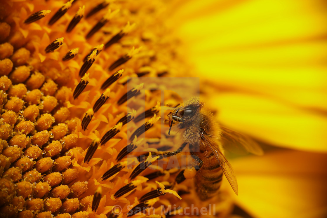 """""""Bee in a gorgeous sunflower"""" stock image"""