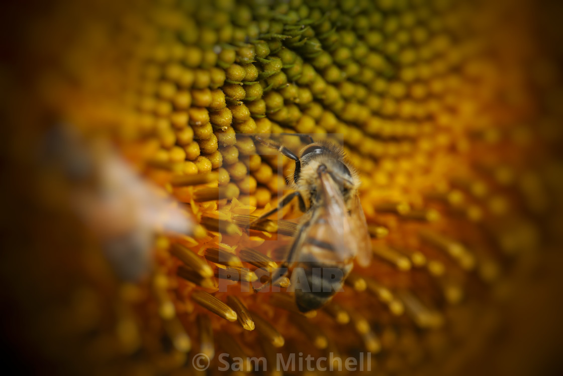 """""""Bee on a sunflower"""" stock image"""