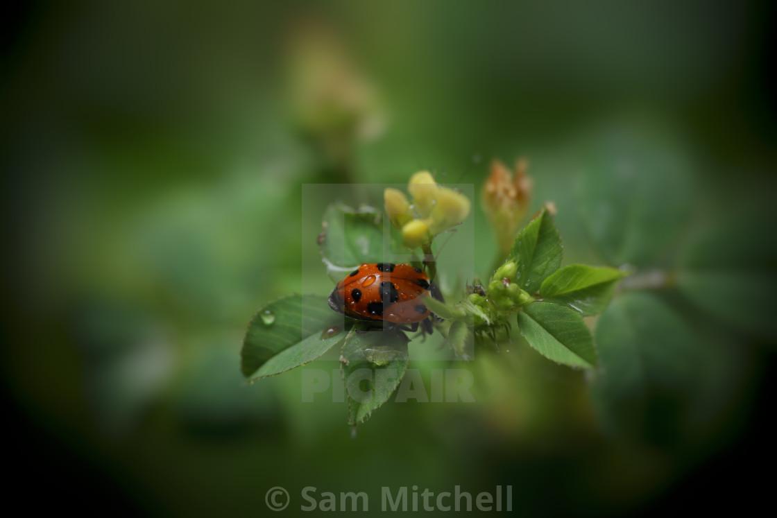"""Hiding Ladybird"" stock image"