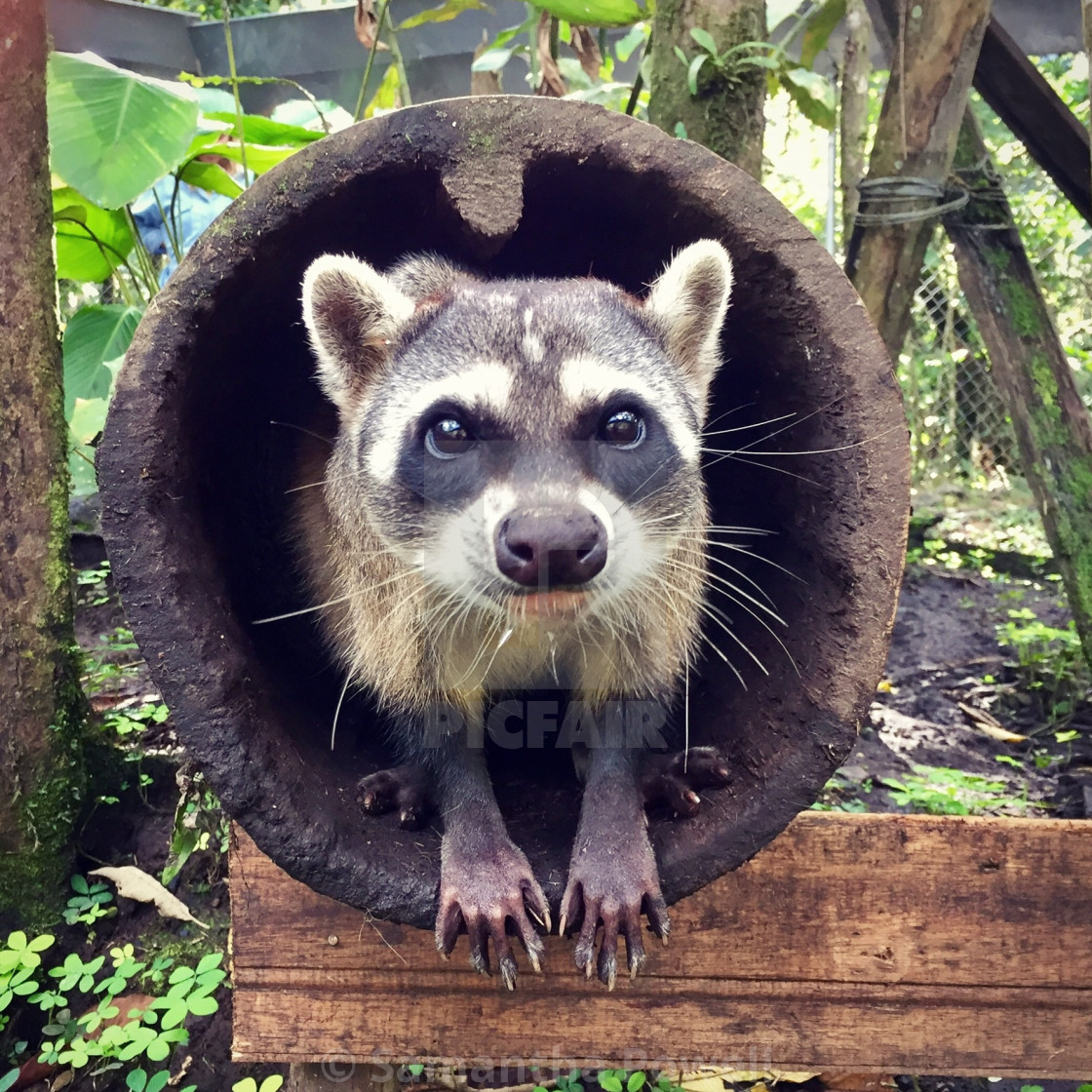 """""""Raccoon and Pipe"""" stock image"""