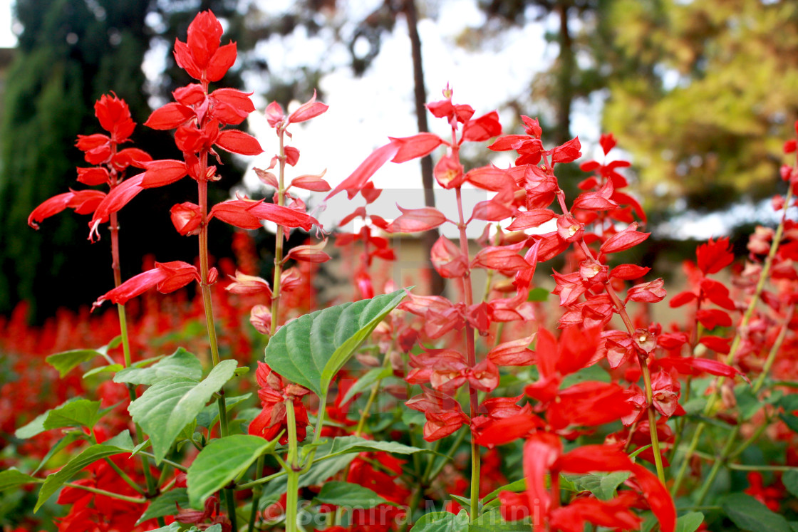 """Red flowers"" stock image"