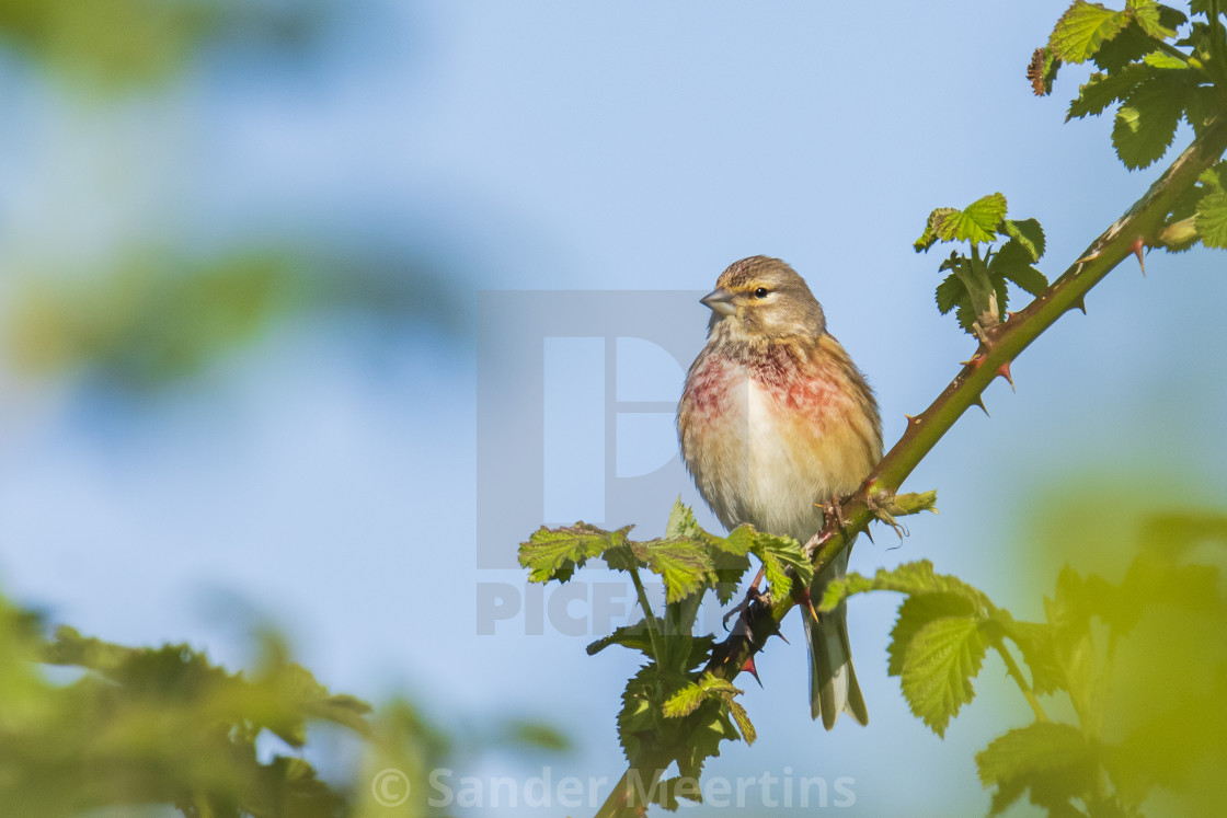 """""""Linnet bird male, Carduelis cannabina with red breast singing"""" stock image"""