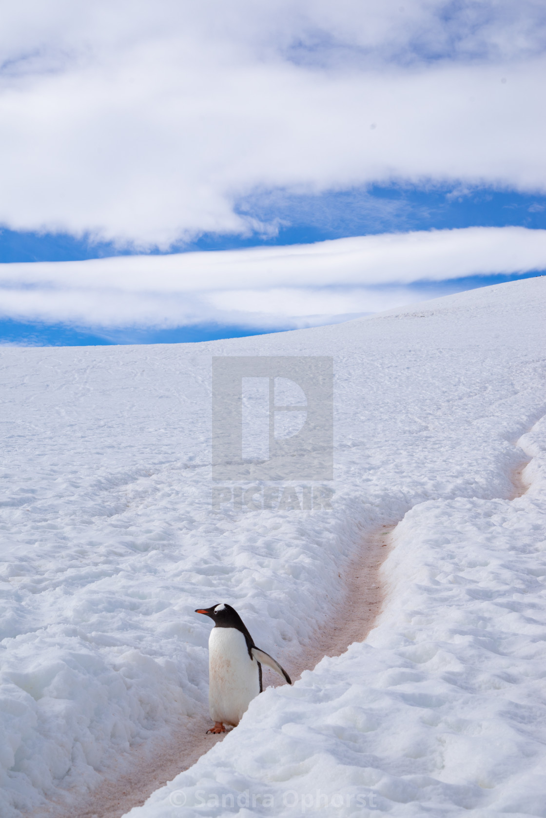 """Gentoo penguin in his highway"" stock image"