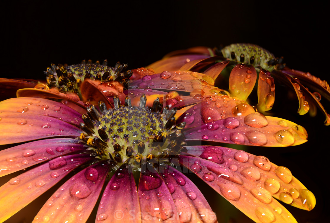 """""""African Daisy"""" stock image"""