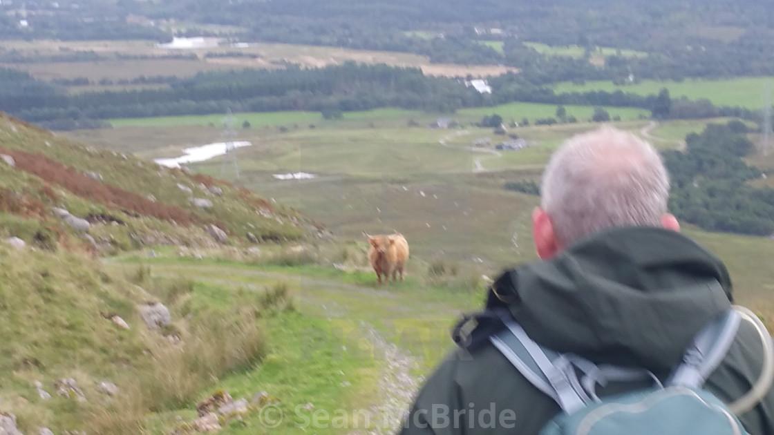 """Highland Cow Showdown"" stock image"