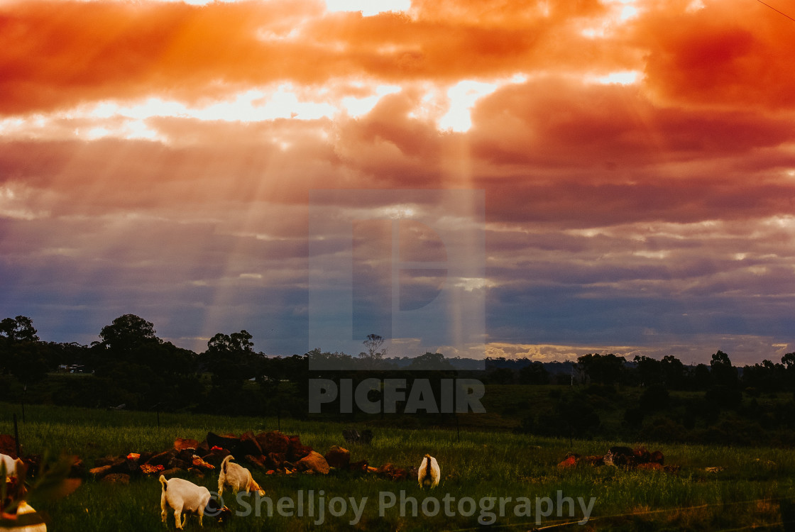 """""""Goats grazing in the sunset"""" stock image"""