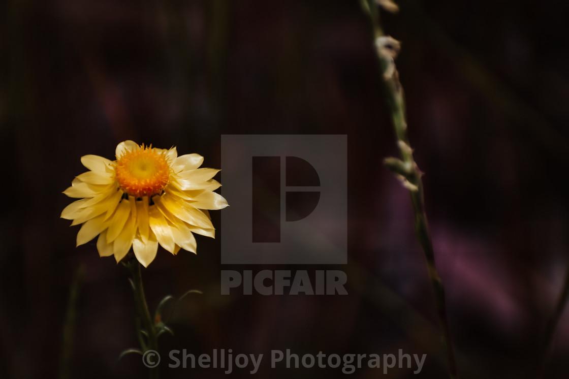 """Paper Daisy"" stock image"