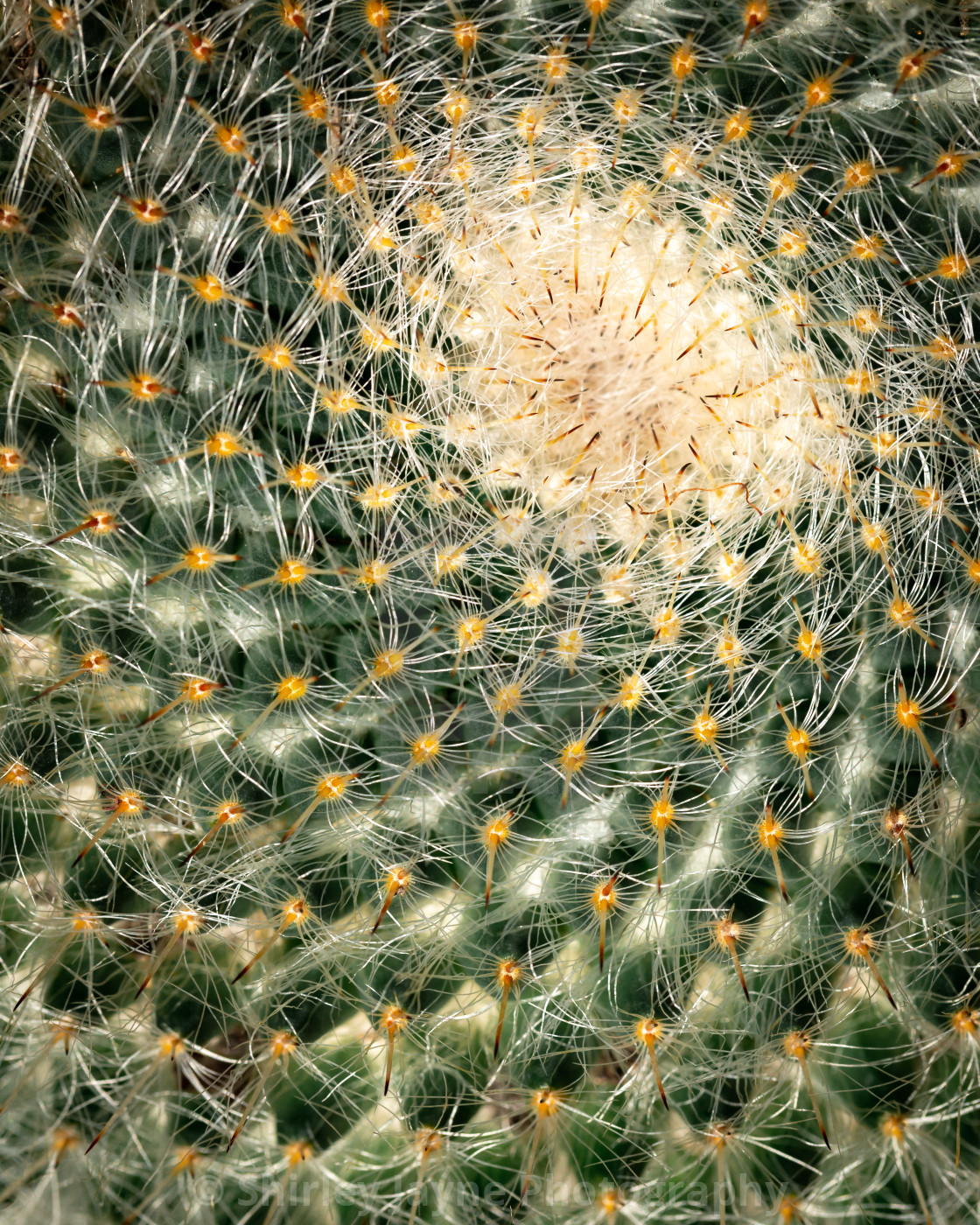 """Fibonacci cactus. Inspiration in the language of God, as spoken through creation."" stock image"