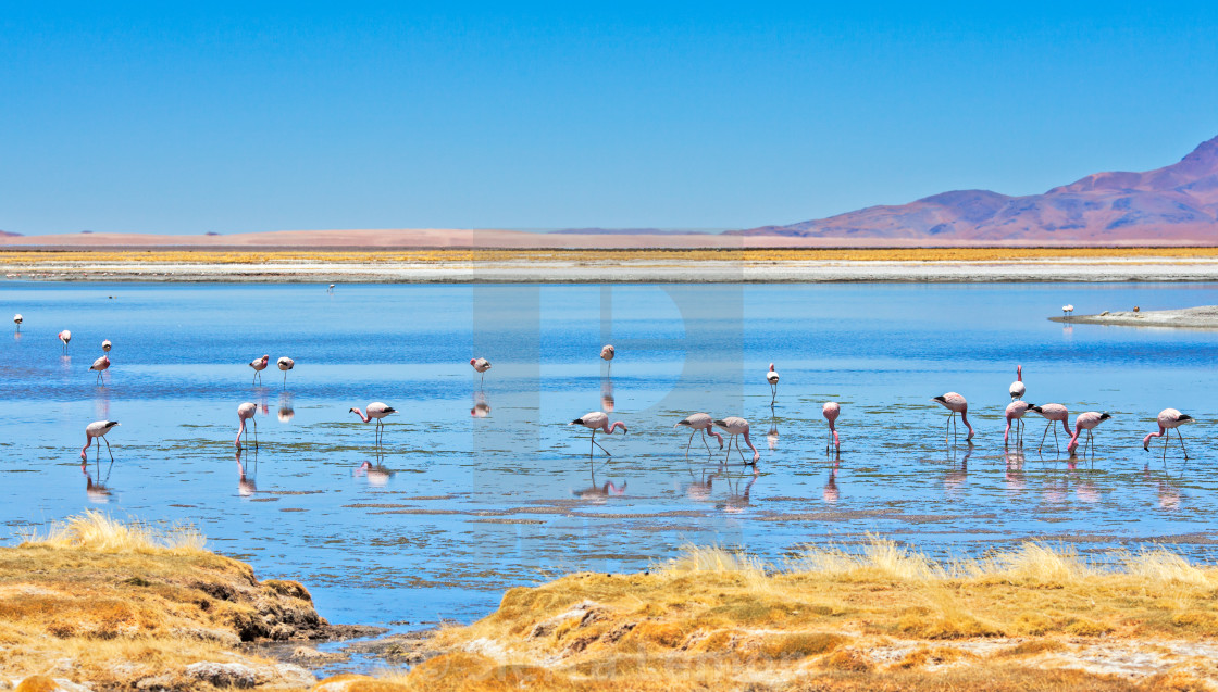 """Flamingos, Atacama Desert, Chile"" stock image"