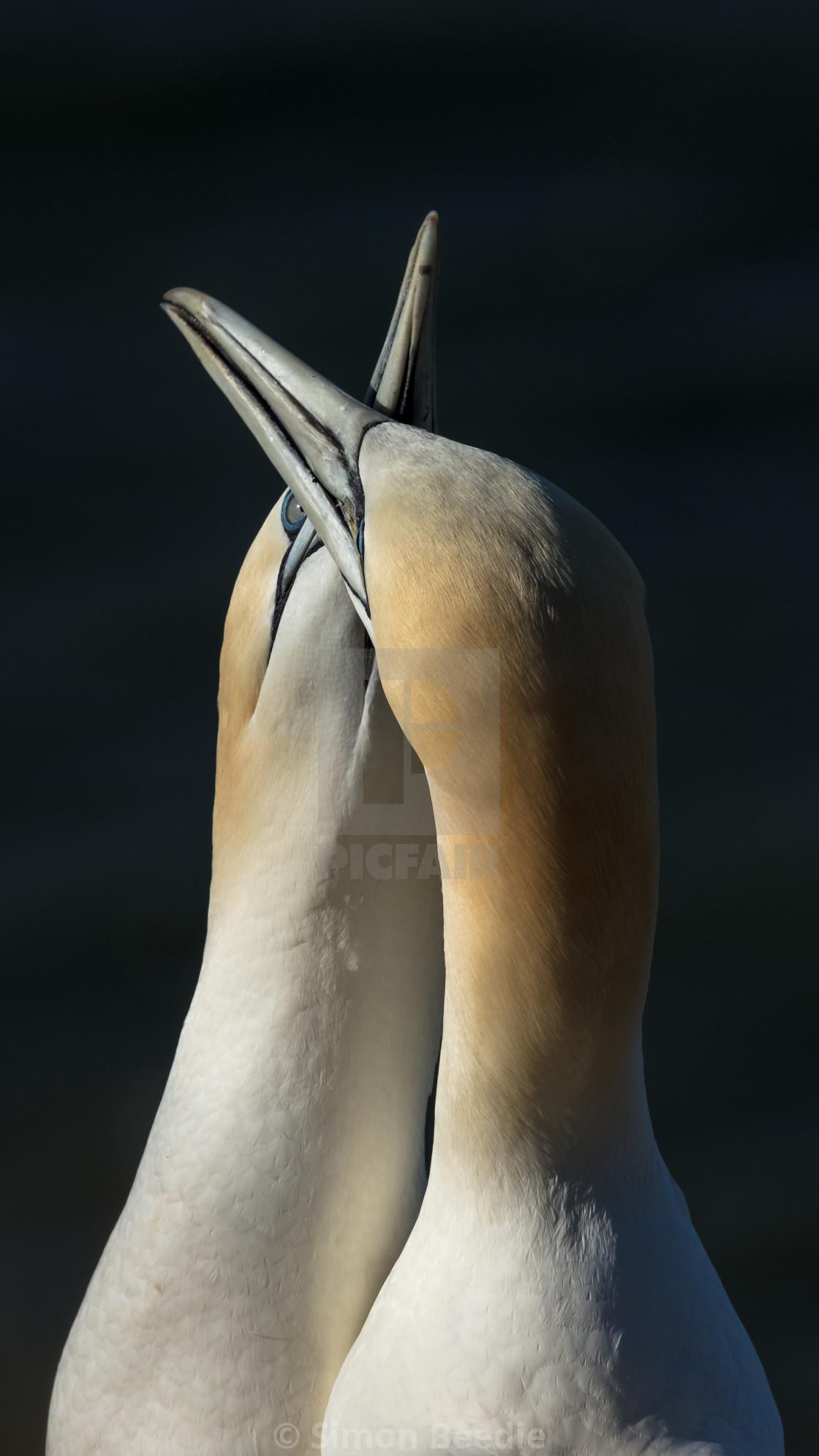 """Billing Gannets"" stock image"