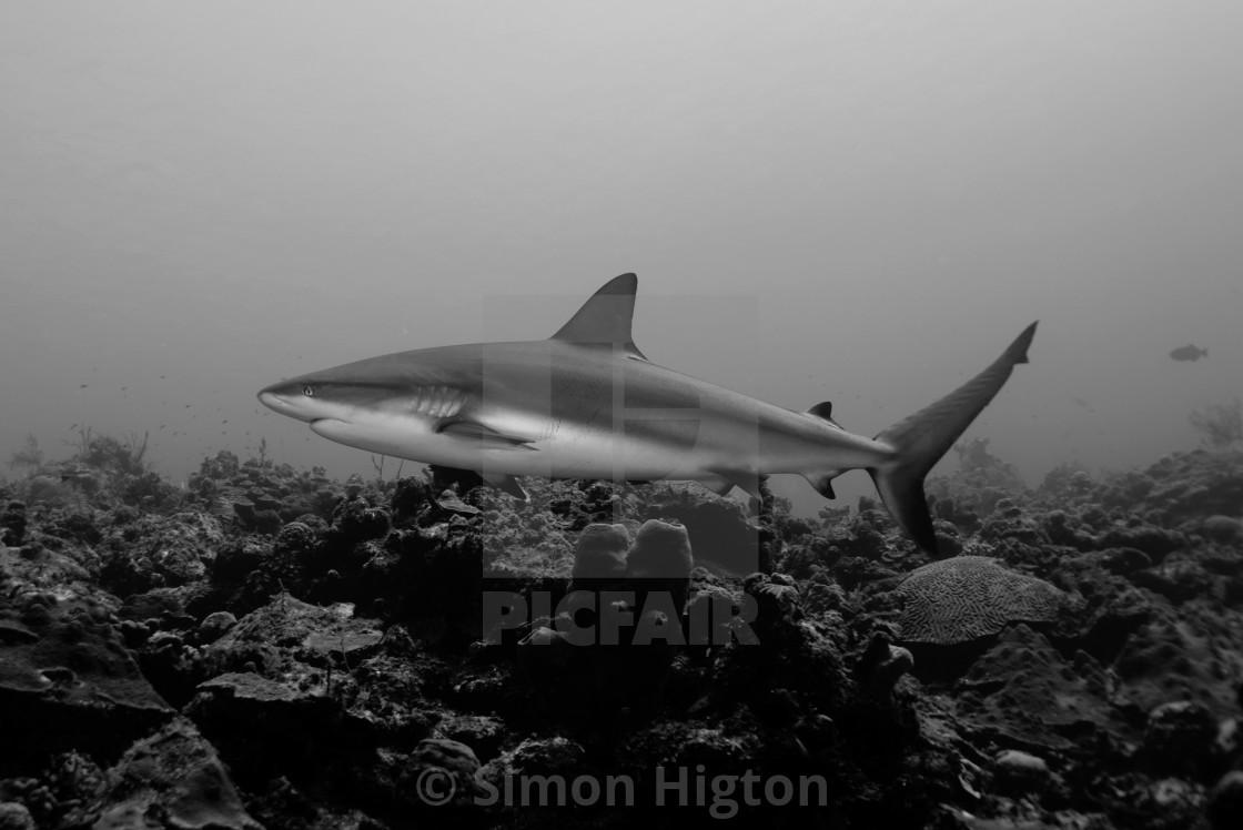 """Shark Portrait"" stock image"