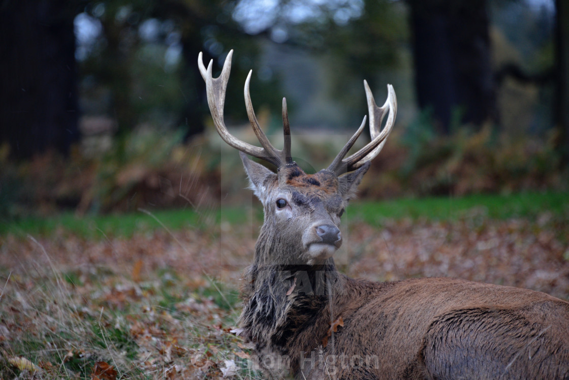 """""""The autumn stag"""" stock image"""