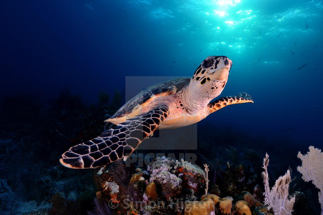 """Floating sea turtle"" stock image"