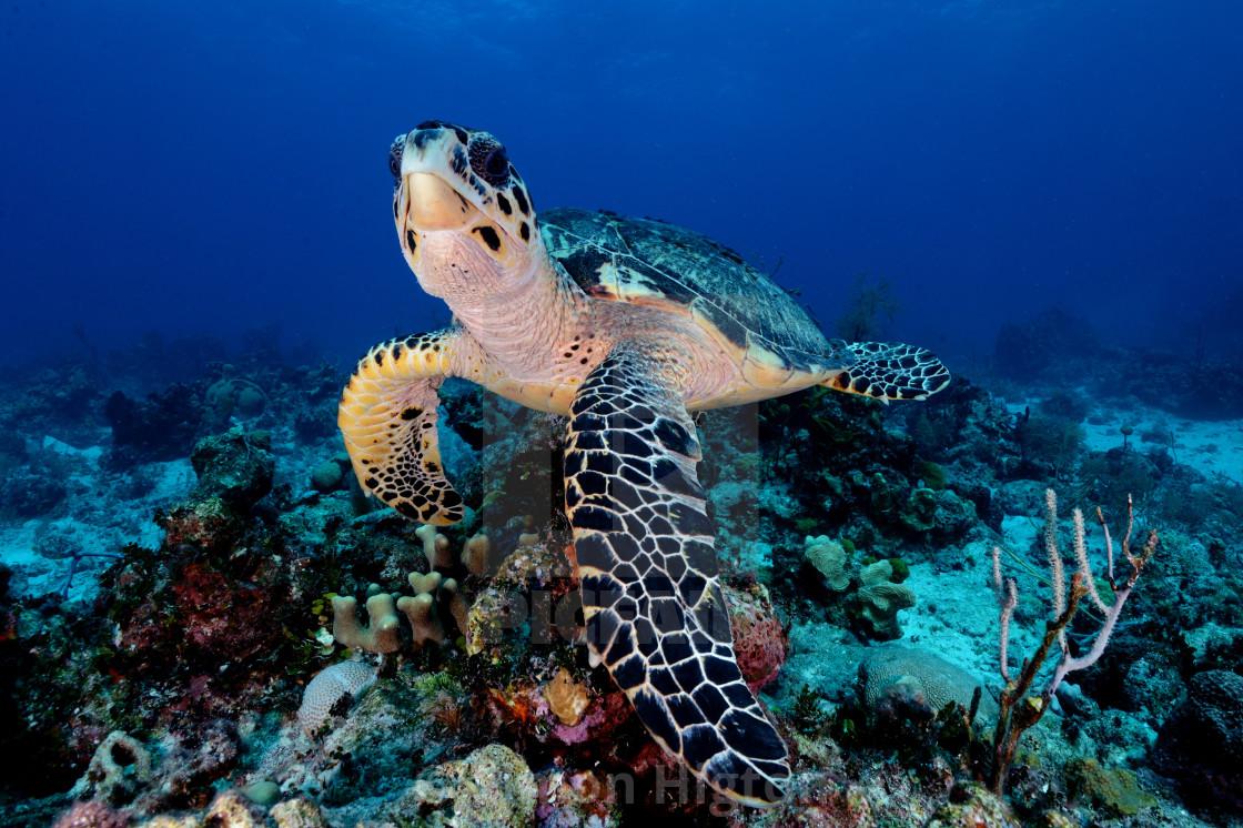 """Sea turtle posing on the reef"" stock image"
