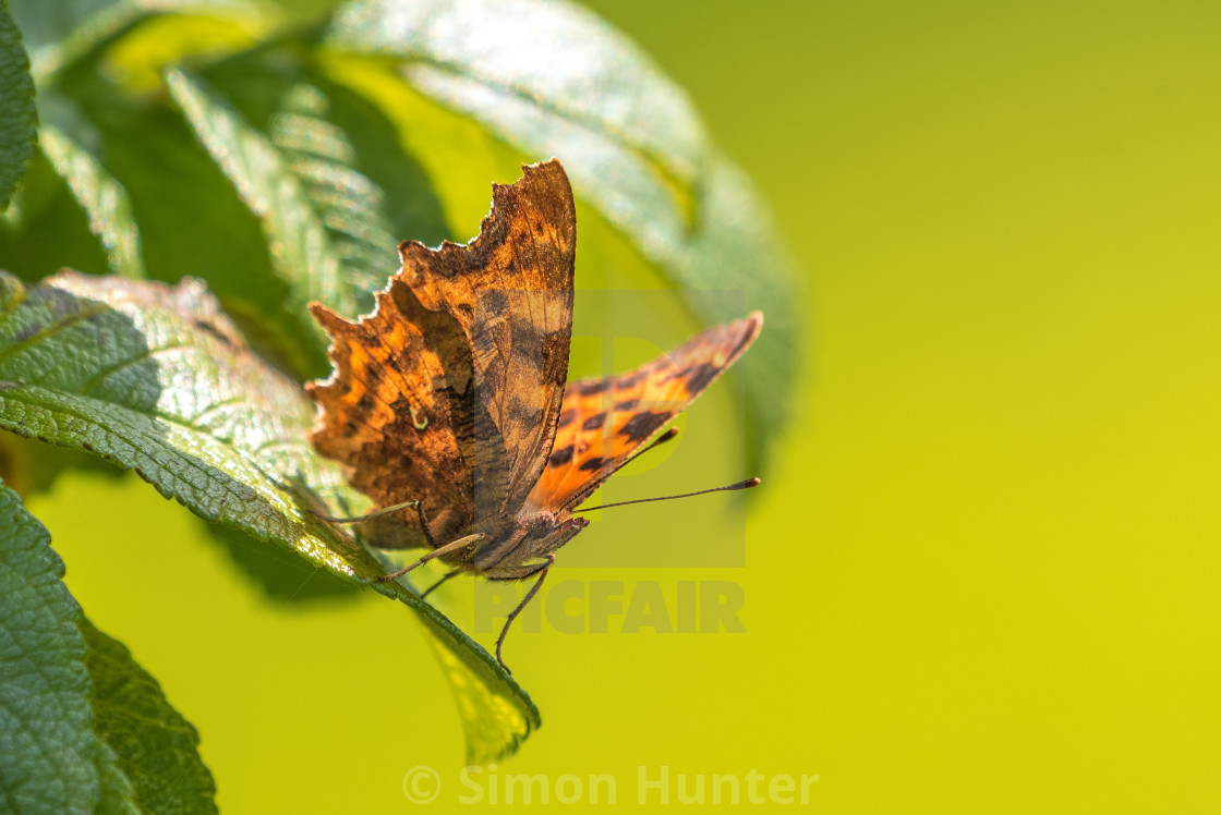 """Close up of a Comma Butterfly Resting"" stock image"