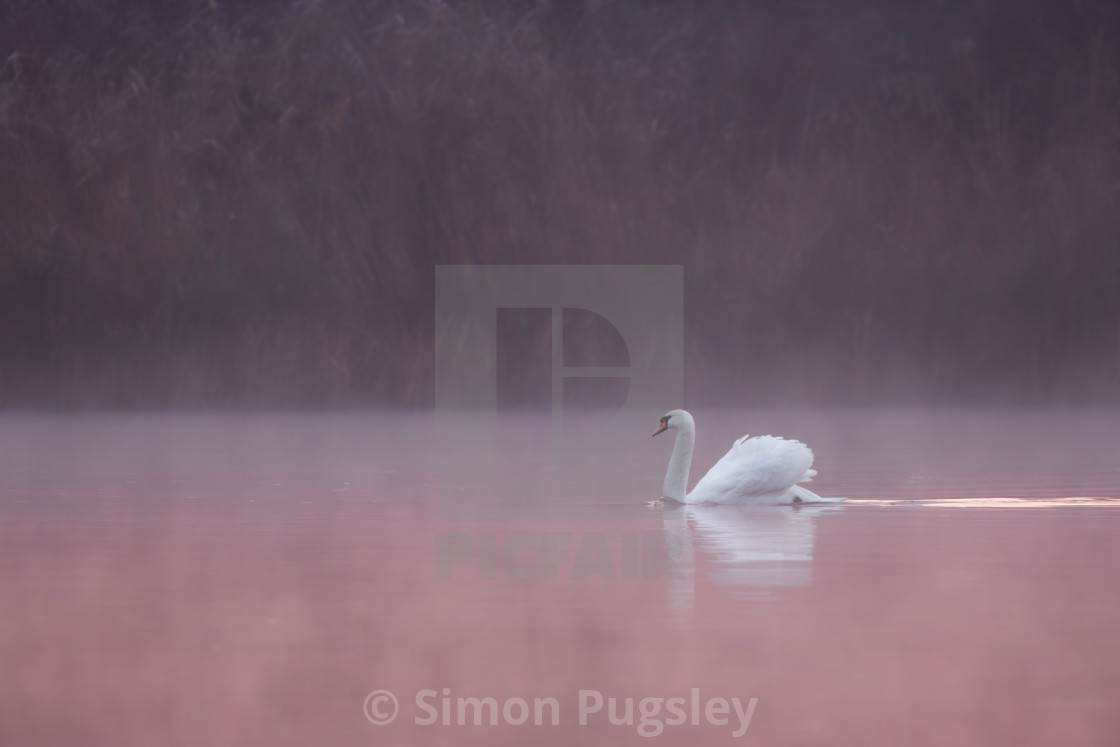 """Pink Swan"" stock image"