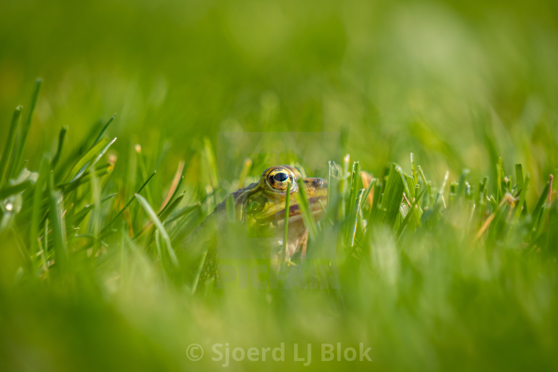 """""""Common green frog: Pelophylax in the grass close-up"""" stock image"""
