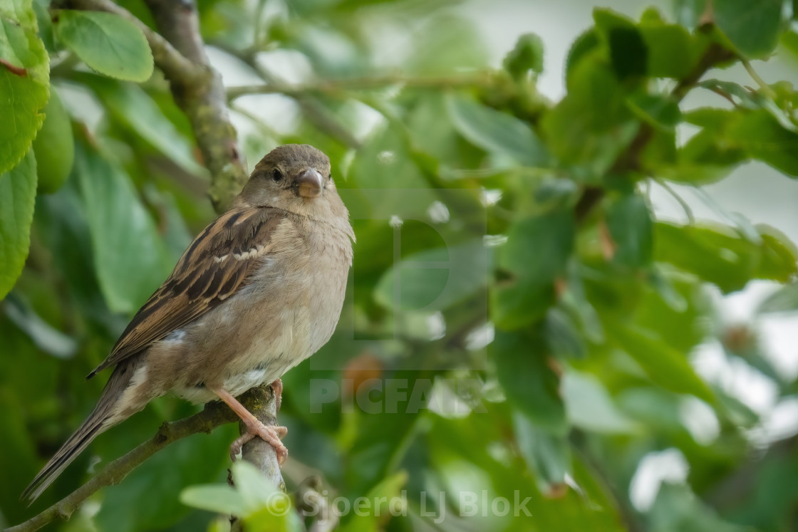 """""""A house sparrow (Passer domesticus) female sitting on a branch in front of green leaves and looking into the camera"""" stock image"""